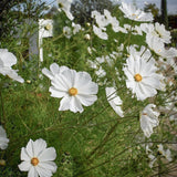 Herboo Cosmos White Purity Seeds