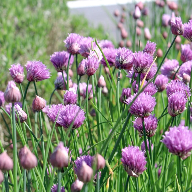 Herboo Chive Seeds