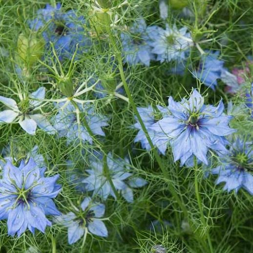 Herboo Nigella Love In a Mist Seeds