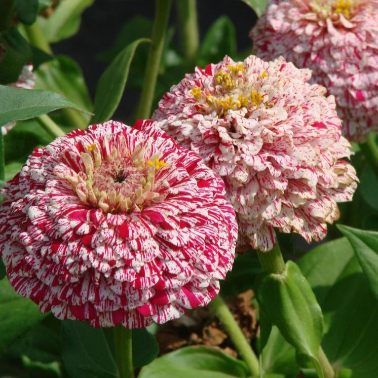 Herboo Zinnia Pop Art