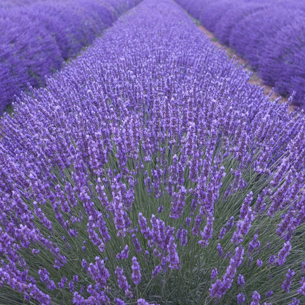 Lavender Munstead Seeds