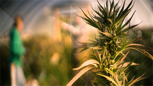 The Business of Cannabis Cultivation