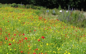 What is a wildflower meadow? Cornfield annuals