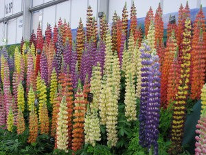 Lupins at Gardener's World