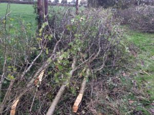 Hedgelaying - Dorset