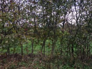 Why hedgelaying is useful