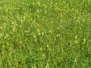 Grass with Yellow Rattle