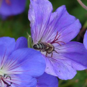 Geranium and honeybee