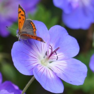 Butterfly on geranium