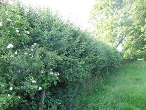 mixed native hedge