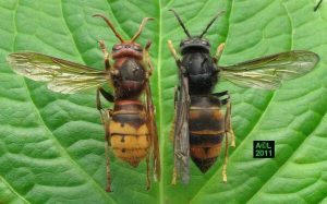 European and Asian Hornets