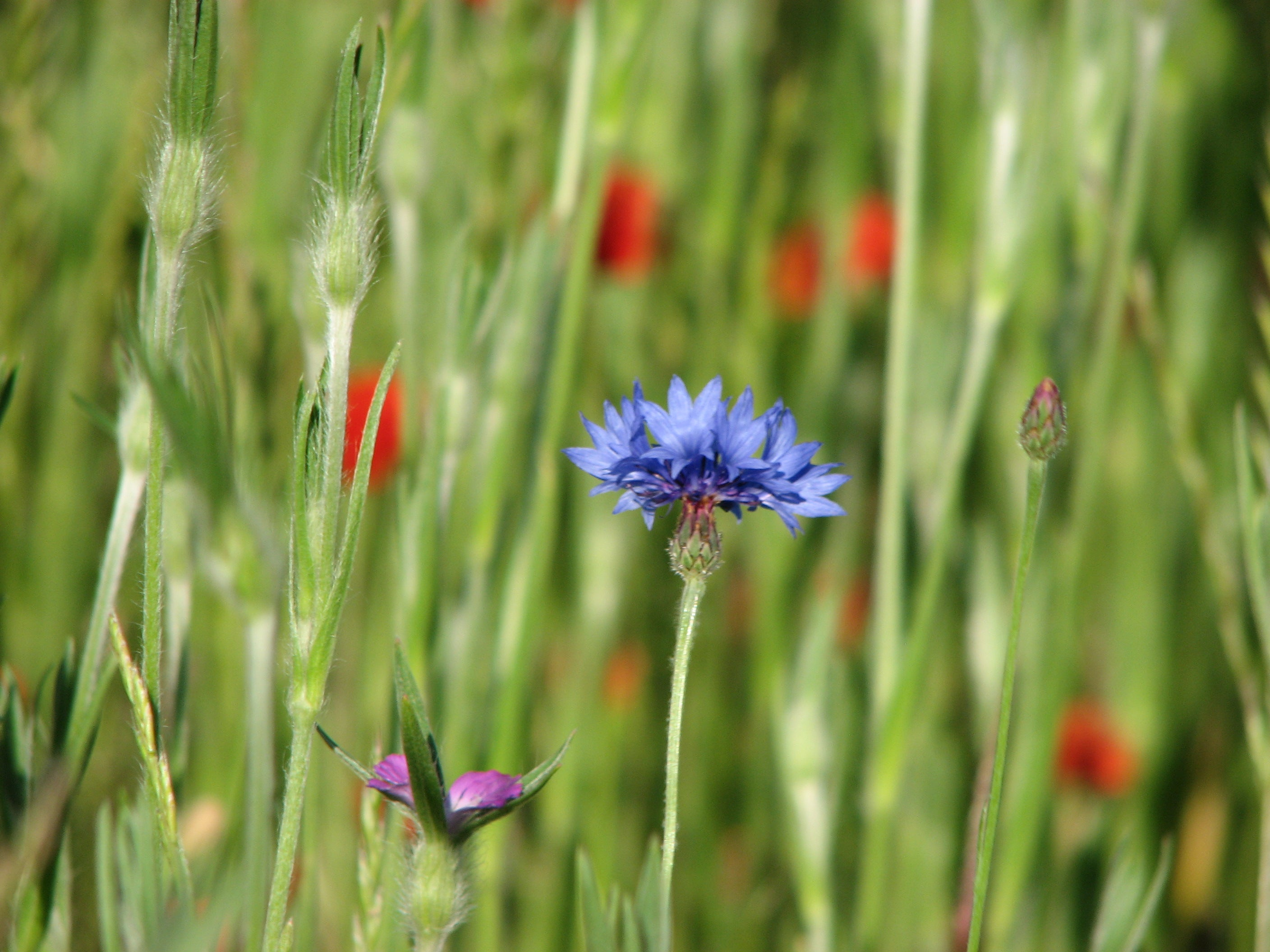 Cornflower in Archie's Meadow, June 2010