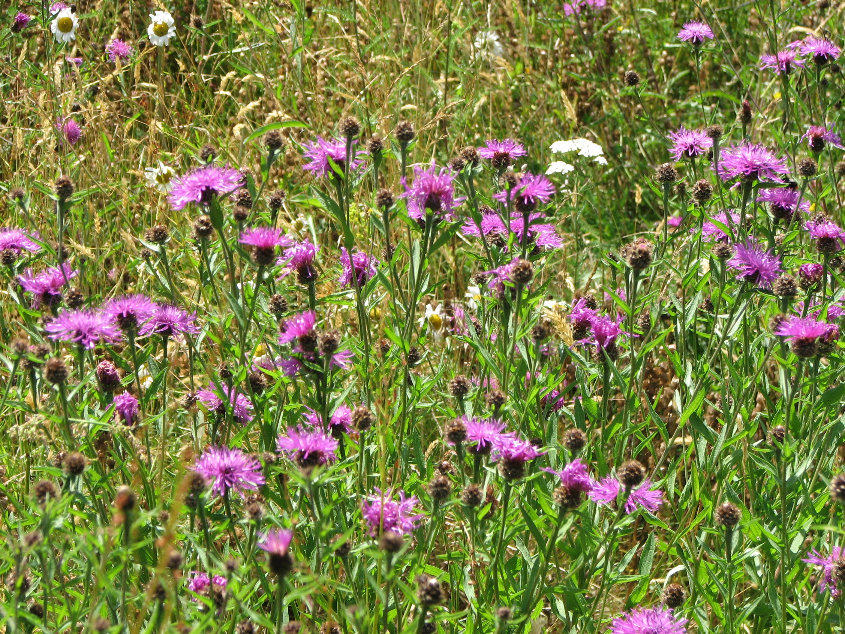 Greater Knapweed clump