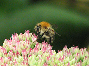 Male Carder Bee