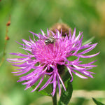 Solitary Bee and Knapweed