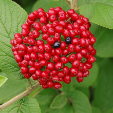 Load image into Gallery viewer, Wayfaring Tree (Viburnum lantana)