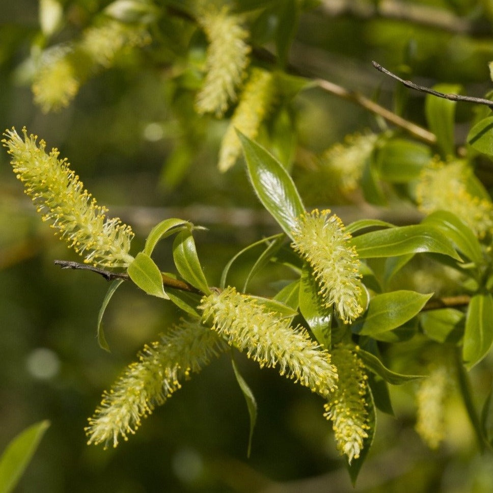 Crack Willow (Salix fragilis)