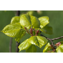 Load image into Gallery viewer, Small Leaved Lime (Tilia cordata)