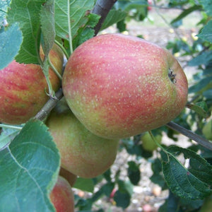 Apple Tree - Adam's Pearmain