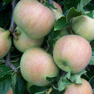 Apple Tree - Allington Pippin