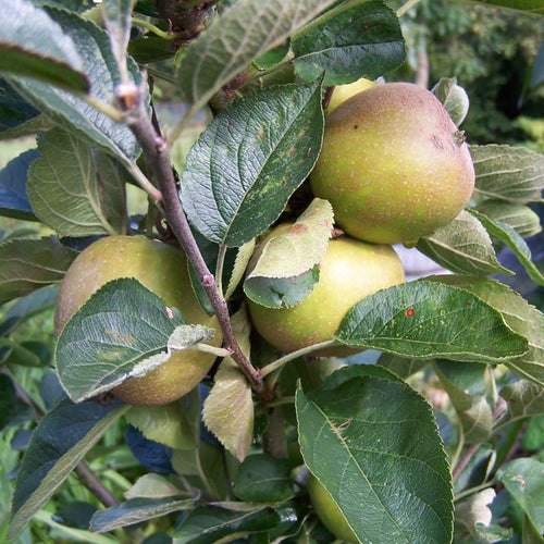 Apple tree - Ashmead's Kernel