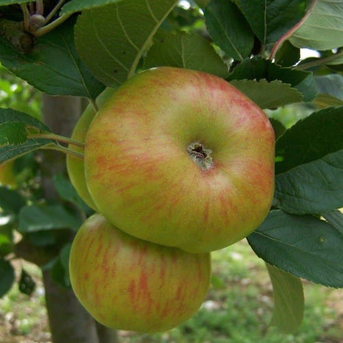 Apple Tree - Brown's