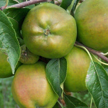 Load image into Gallery viewer, Apple Tree - Cornish Gilliflower