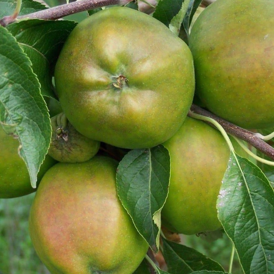 Apple Tree - Cornish Gilliflower