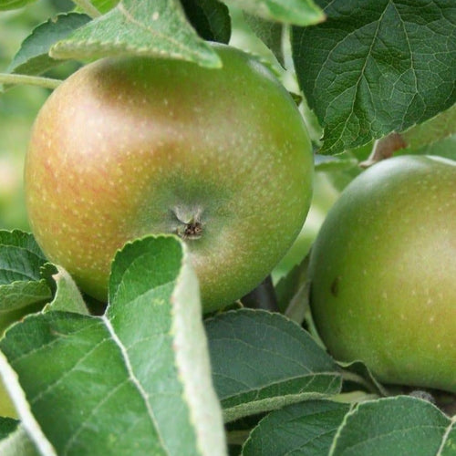 Apple tree - Court Pendu Plat