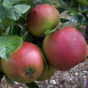 Apple Tree - Crawley Reinette