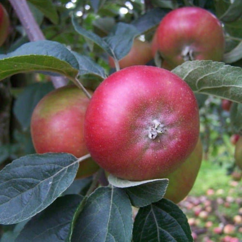 Apple Tree - Devonshire Quarrenden