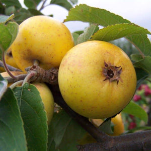 Apple Tree - Downton Pippin