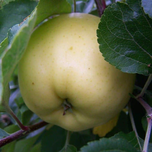 Apple tree - Early Victoria