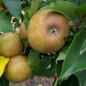 Apple Tree - Egremont Russet