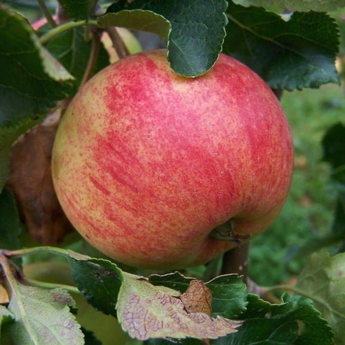 Apple Tree - Epicure