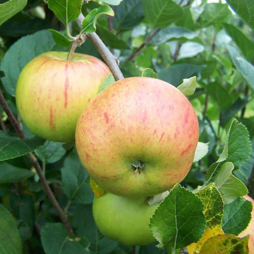 Apple Tree - Fillingham Pippin