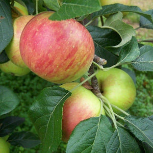 Apple Tree - Fortune