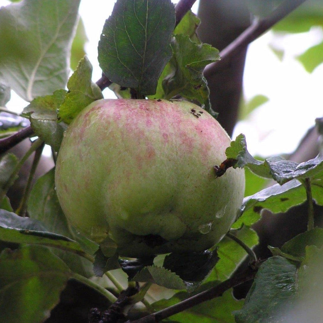 Apple Tree - Isaac Newton's Tree