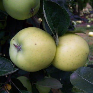 Apple tree - Keswick Codling
