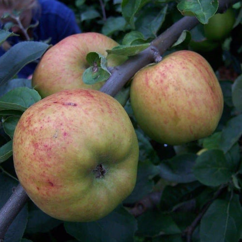Apple Tree - Lady Henniker