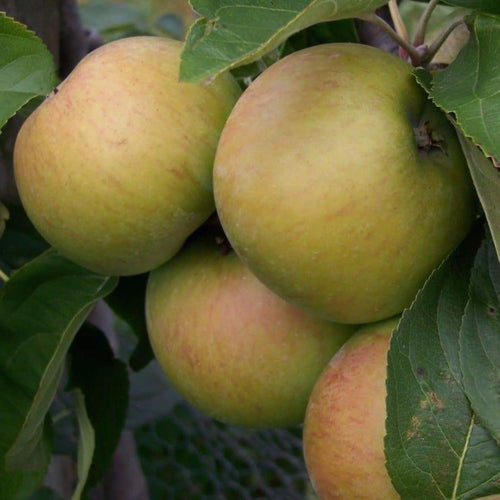 Apple Tree - Lane's Prince Albert