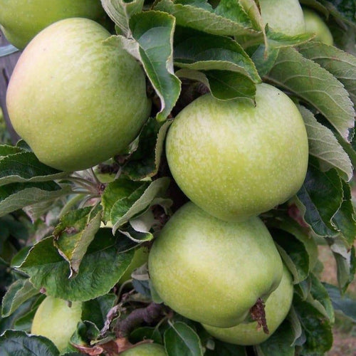 Apple Tree - Lord Derby