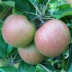 Apple Tree - Mannington's Pearmain