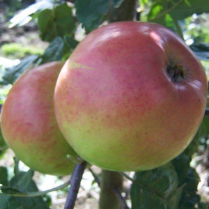 Apple Tree - Monarch