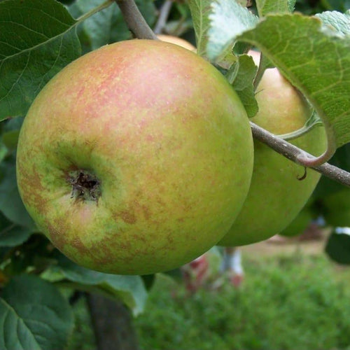 Apple Tree - Newton Wonder