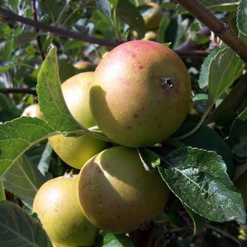 Apple Tree - Nonpareil