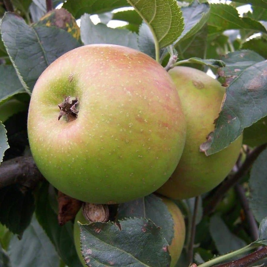 Apple Tree - Orleans Reinette