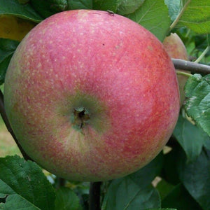 Apple Tree - Peasgood's Nonsuch
