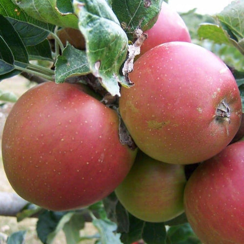 Apple Tree - Pomeroy of Somerset