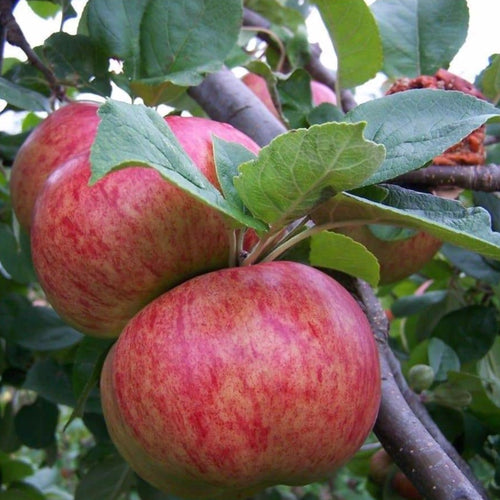 Apple Tree - Queen